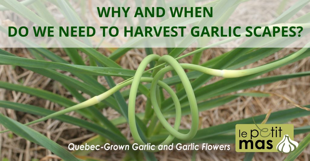 Why and when do we need to harvest garlic scapes