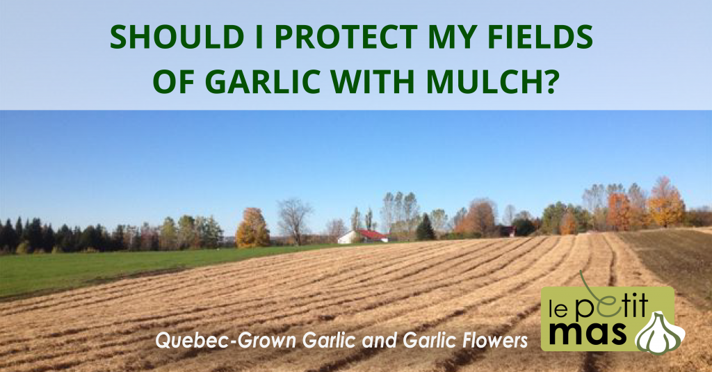 should-i-protect-my-fields-of-quebec-garlic-with-mulch