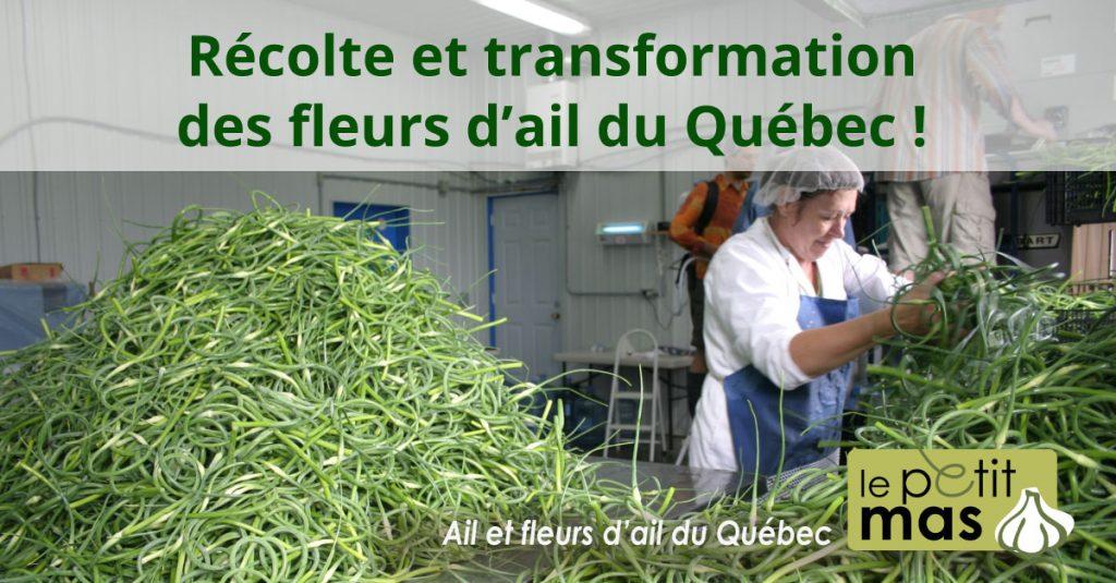 récolte et transformation des fleurs d'ail du Québec