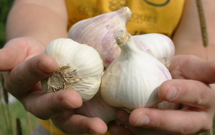 Quebec-grown garlic | Le Petit Mas
