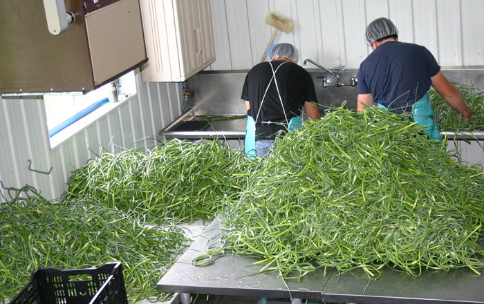 Processing garlic scapes | Le Petit Mas